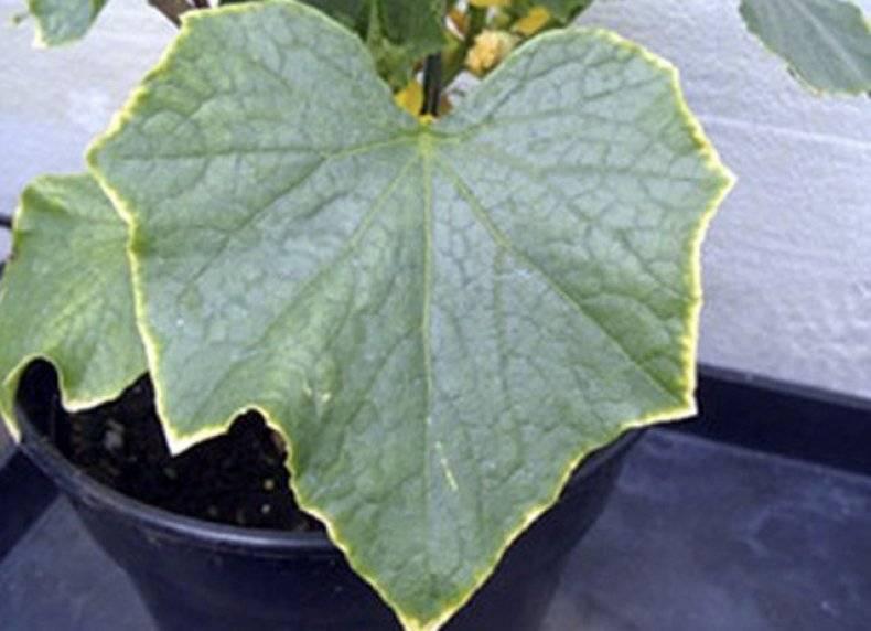 Огурцы в теплице желтеют листья что делать, рекомендации, рецепты