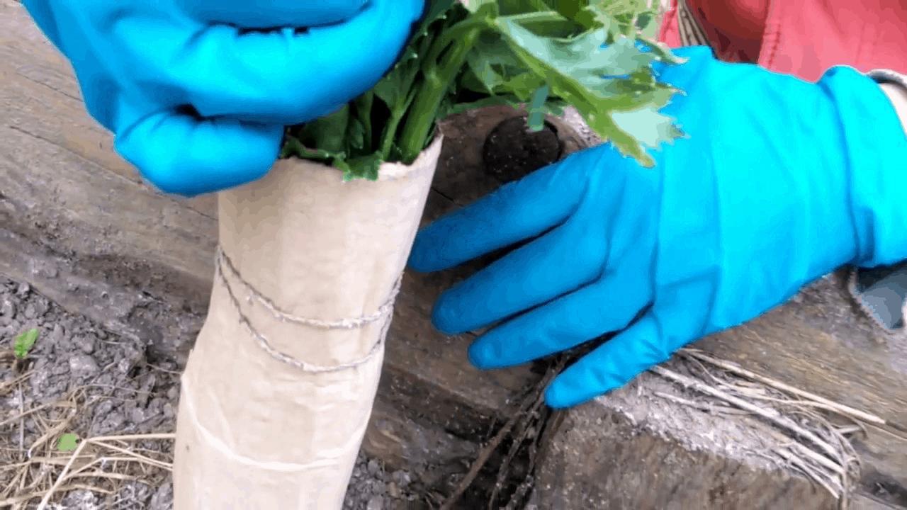 Хранение корневого сельдерея зимой: в домашних условиях, в погребе