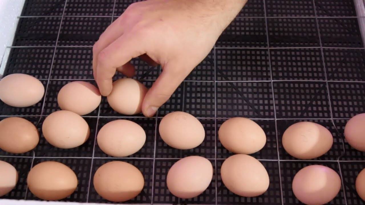 Как собрать и хранить куриные яйца для инкубации в домашних условиях