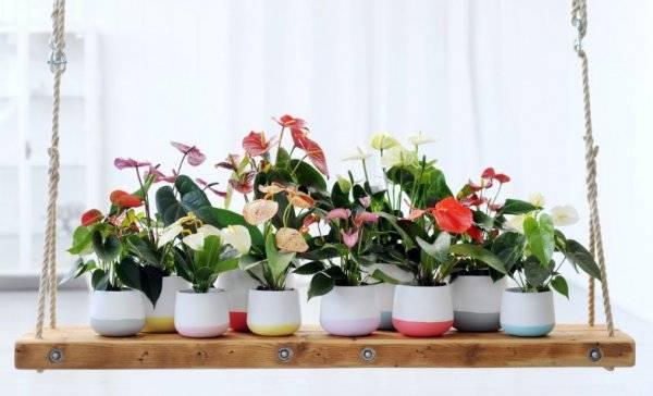 Почему не цветет антуриум в домашних условиях?