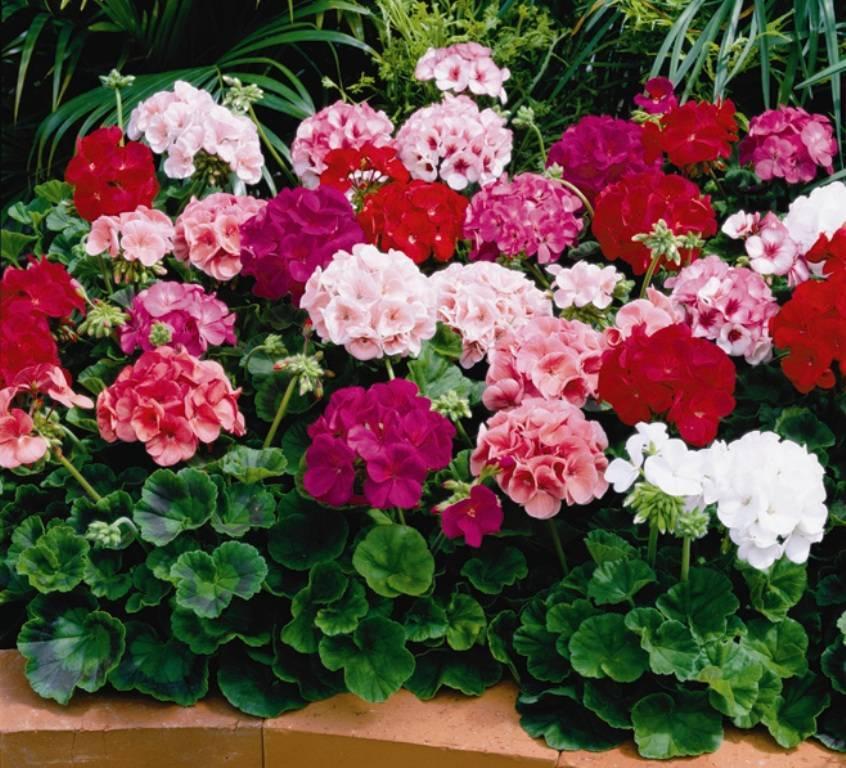 Пеларгония: характеристика, сорта, выращивание