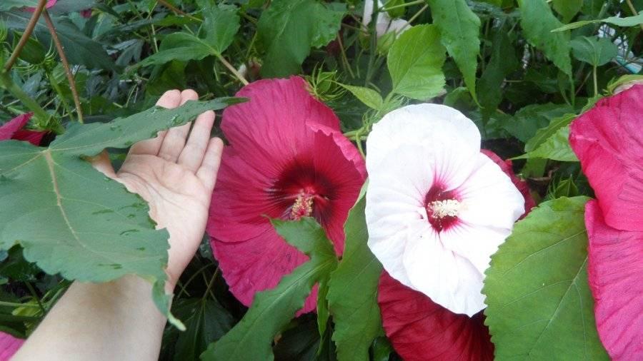Гибискус садовый (44 фото): уход и способы размножения. как зимует цветок? как размножить его осенью черенками? правила посадки