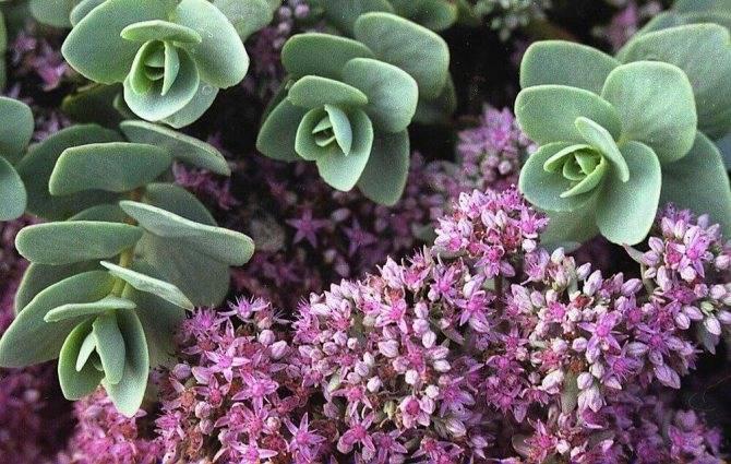 Седум - описание и разновидности выращивания в комнатных условиях (125 фото + видео)