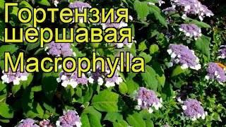 Гортензия макрофилла шершавая зимостойкость - садоводство