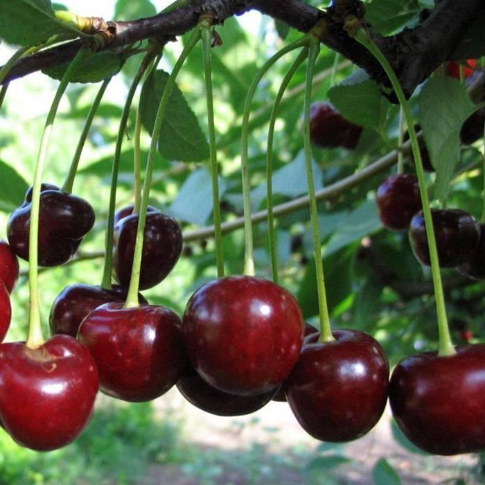 Сорт вишни жуковская: описание, фото