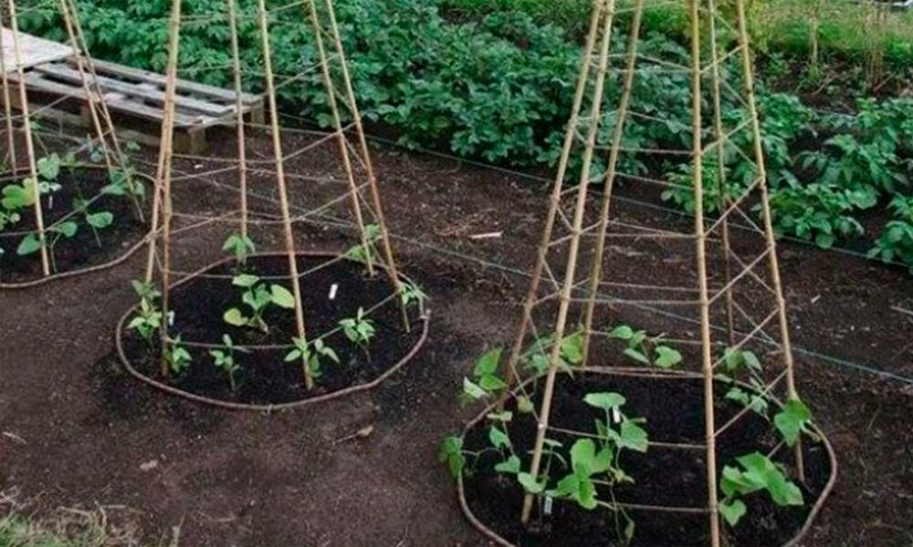 Выращивание огурцов пирамидой - дневник садовода parnikisemena.ru