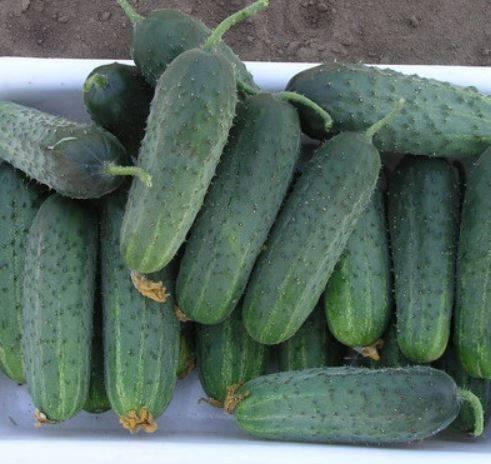 Семена огурец стелла f1: описание сорта, фото. купить с доставкой или почтой россии.