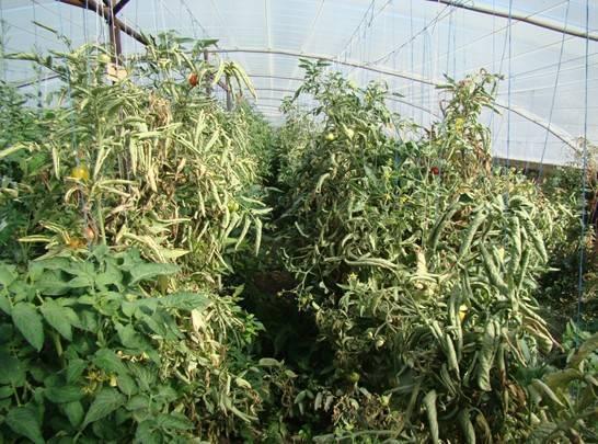 Скручиваются листья у томатов: причины и что делать