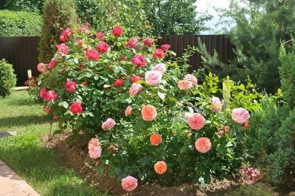 Роза чиппендейл – история, описание и особенности сорта