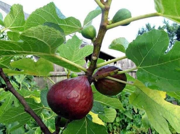 Инжир (фиговое дерево): посадка, уход при выращивании в домашних условиях, описание сортов