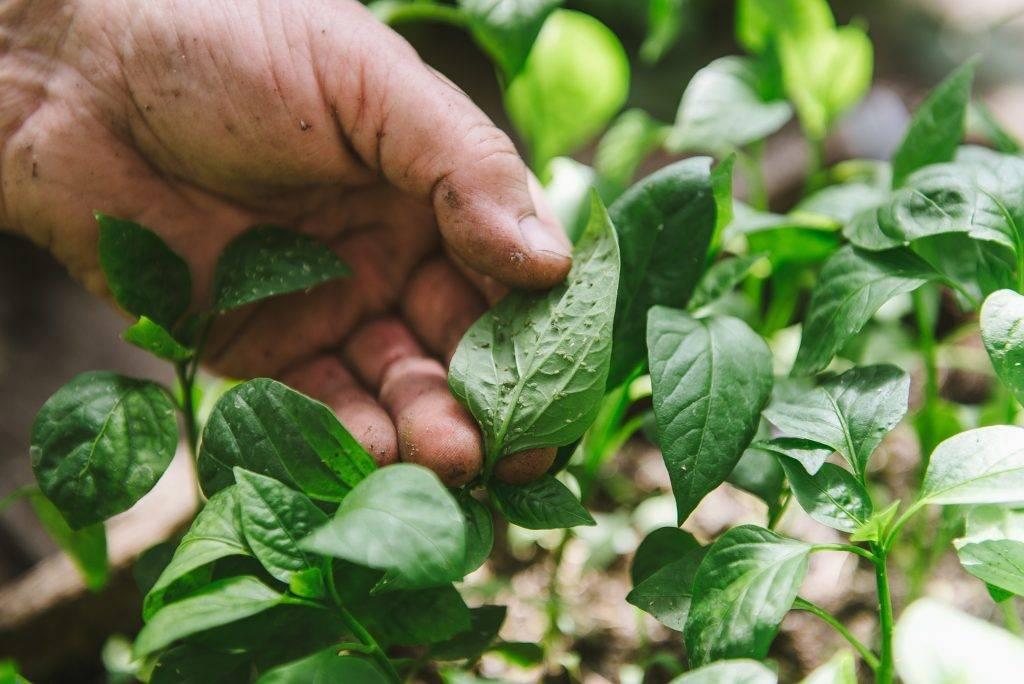 Как избавиться от тли на рассаде (перца, томатов, баклажан, огурцов, розе) народными средствами