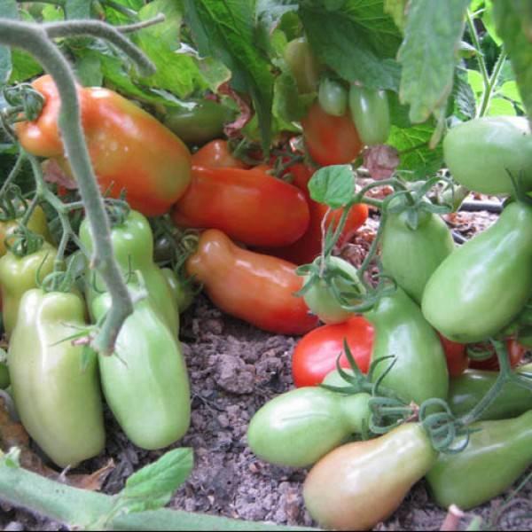 Томат гном: характеристика и описание сорта, отзывы тех кто сажал помидоры об их урожайности, видео и фото семян аэлита