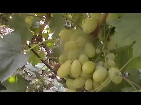 Виноград триумф описание сорта