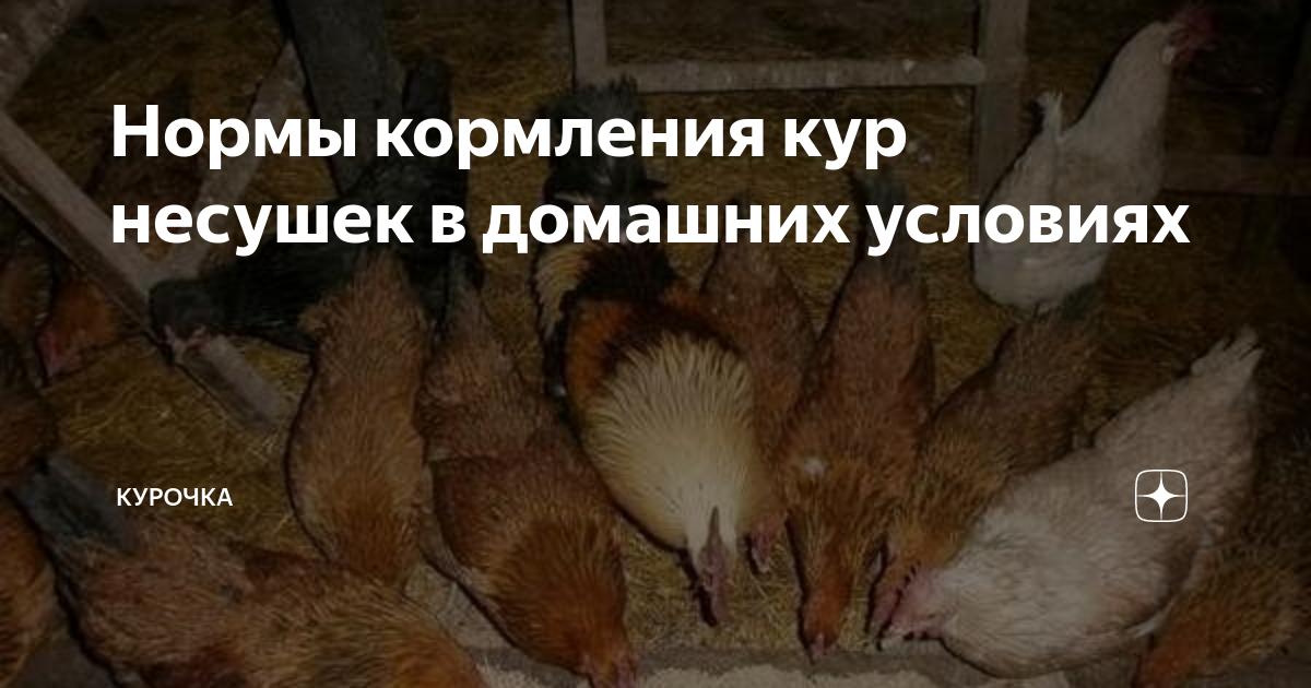 Как кормить кур несушек в домашних условиях, чтобы неслись на ура