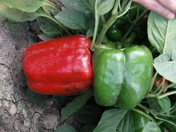 Перец геркулес f1 — описание, особенности выращивания