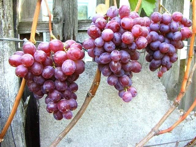 Виноград низина: описание сорта и характеристики, достоинства и недостатки