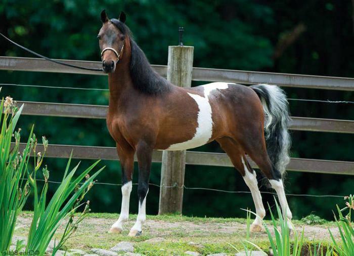 Лошади подвида пони (19 фото): характеристика. чем пони отличается от лошади? особенности авелинской и других разновидностей. тонкости размножения и содержания