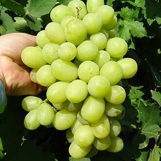 Виноград алекса: описание, характеристики и фото, достоинства и недостатки сорта