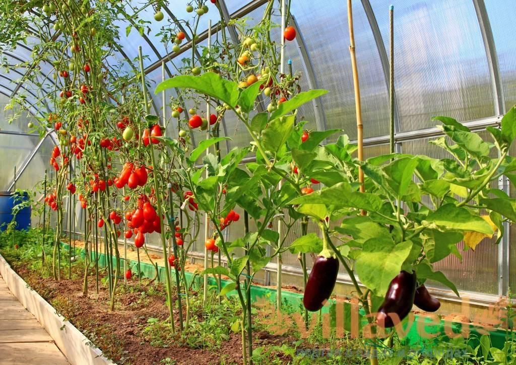 Выращивание баклажанов в теплице: уход, полив и формирование кустов