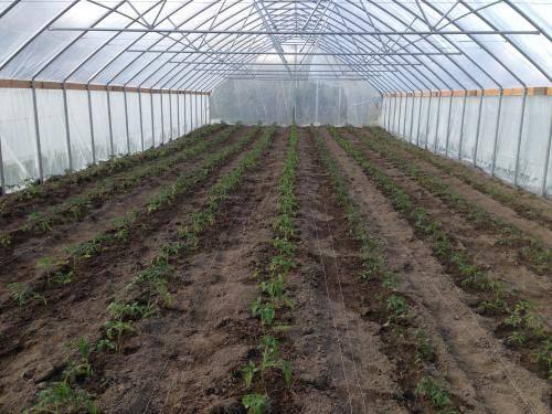 Окучивание перцев в теплице и открытом грунте: описание, уход, фото
