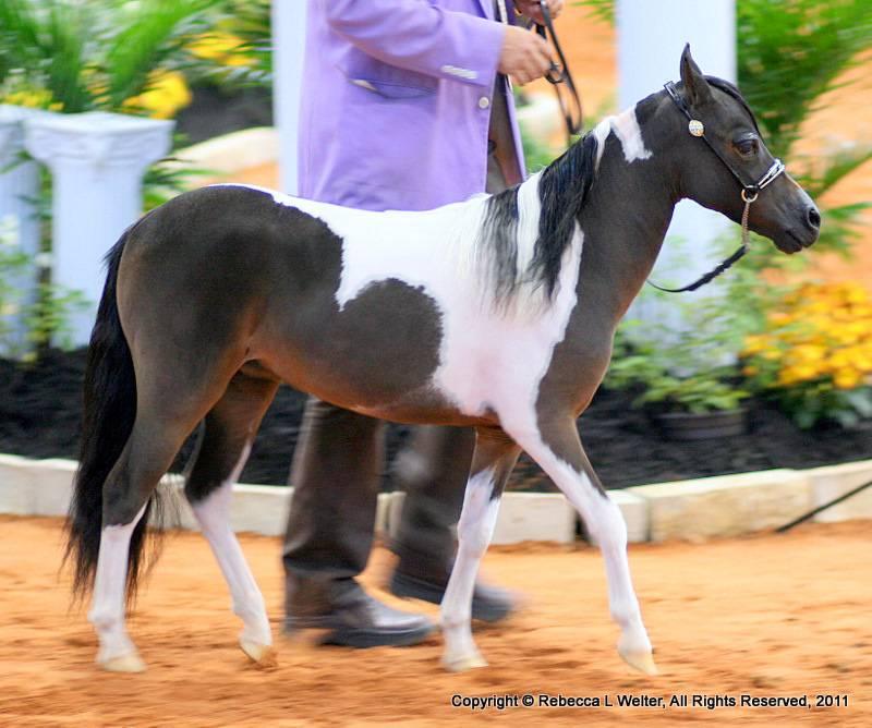 Мини-лошадь – необычная карликовая порода 2021