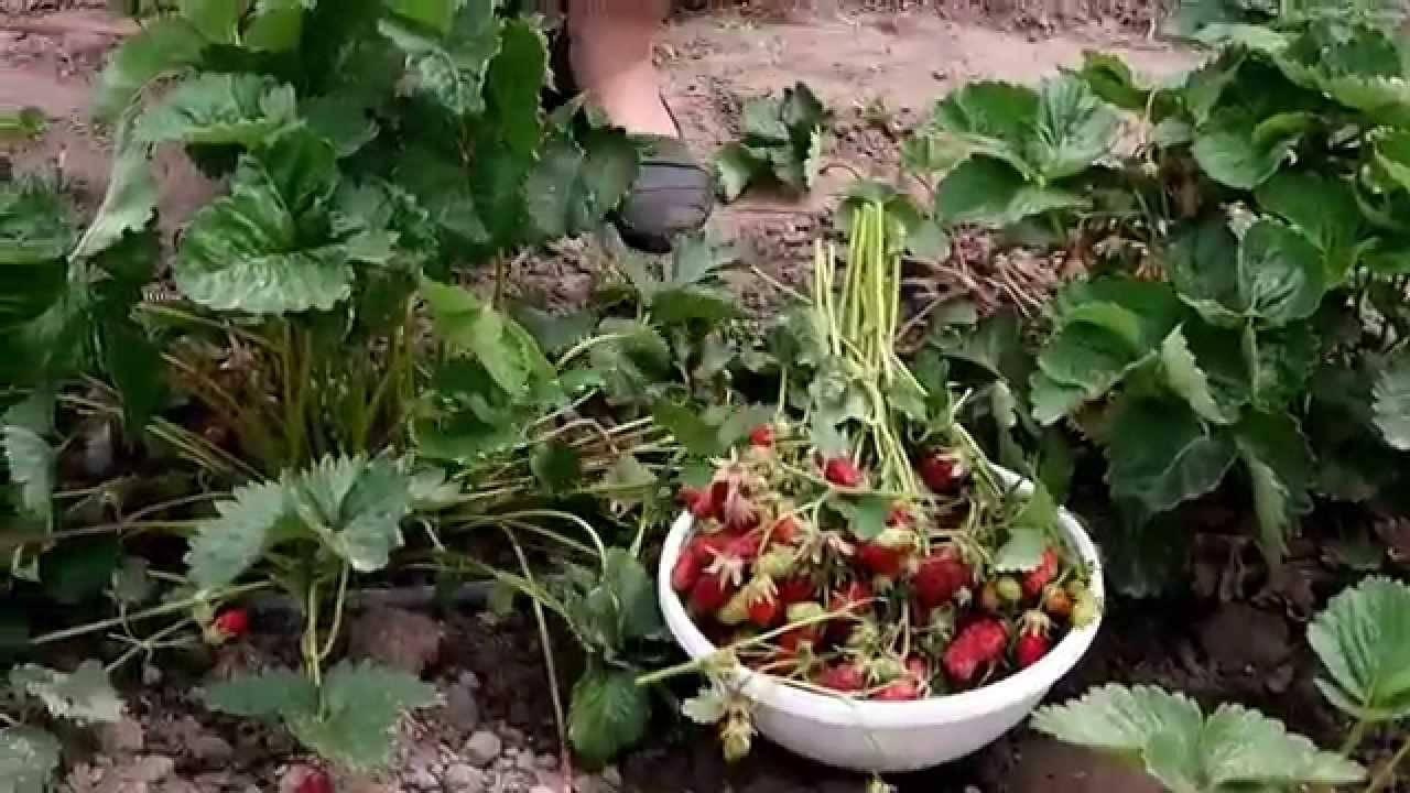 ✅ о клубнике купчиха: описание и характеристики сорта, посадка, уход, выращивание - tehnomir32.ru
