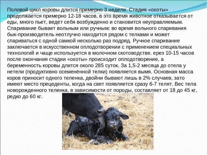 Описание стельности коровы по месяцам - мыдачники