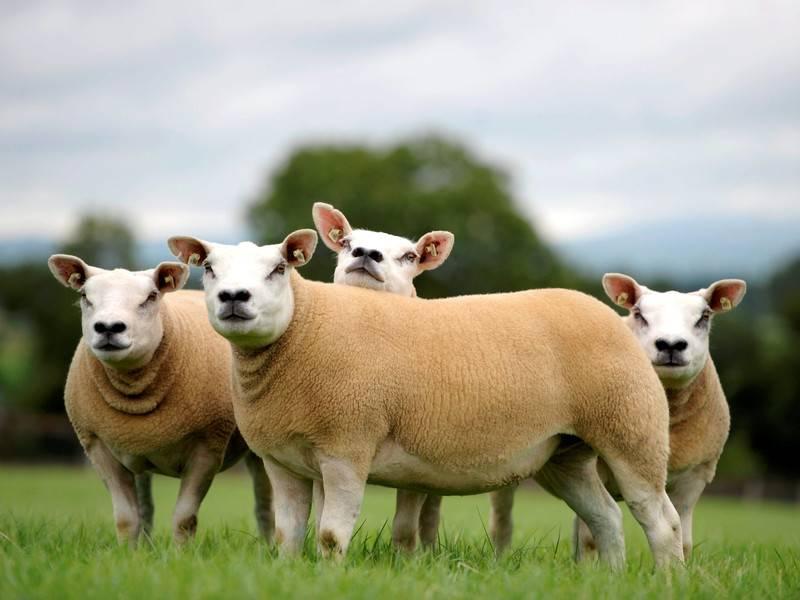Обзор овец породы тексель: полная характеристика с фото и отзывами