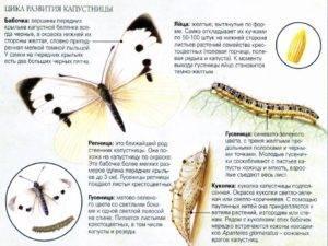 Бабочка капустница - как бороться, лучшие средства?