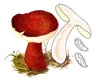 Каштановый гриб, или заячий гриб: фото, описание