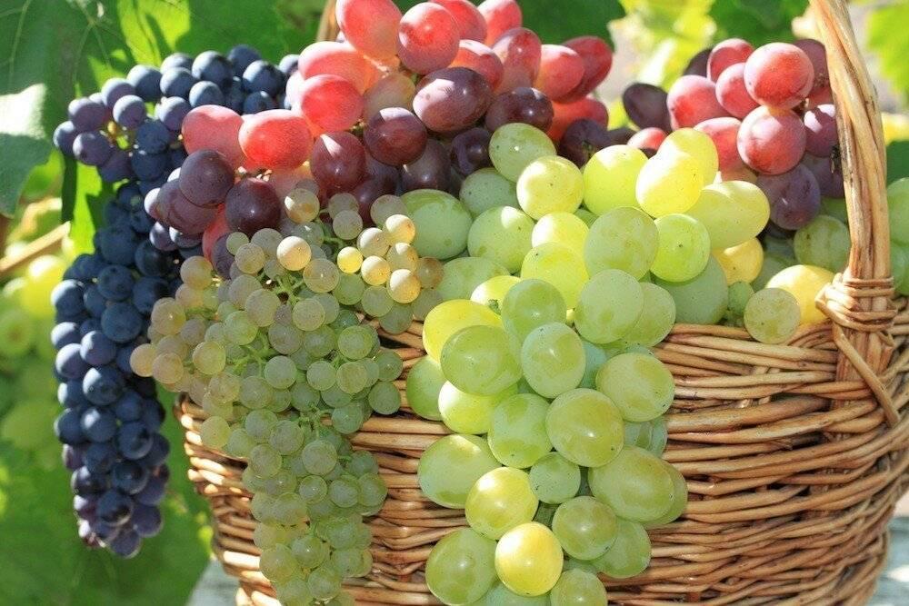 Ранний столовый сорт винограда — фрумоаса албэ