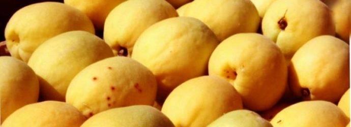 Абрикос ананасный: описание сорта, выращивание, фото и отзывы