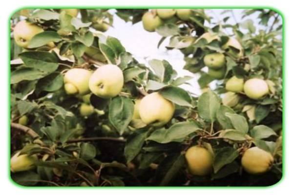 Яблоня уральское наливное — морозостойкое урожайное деревце