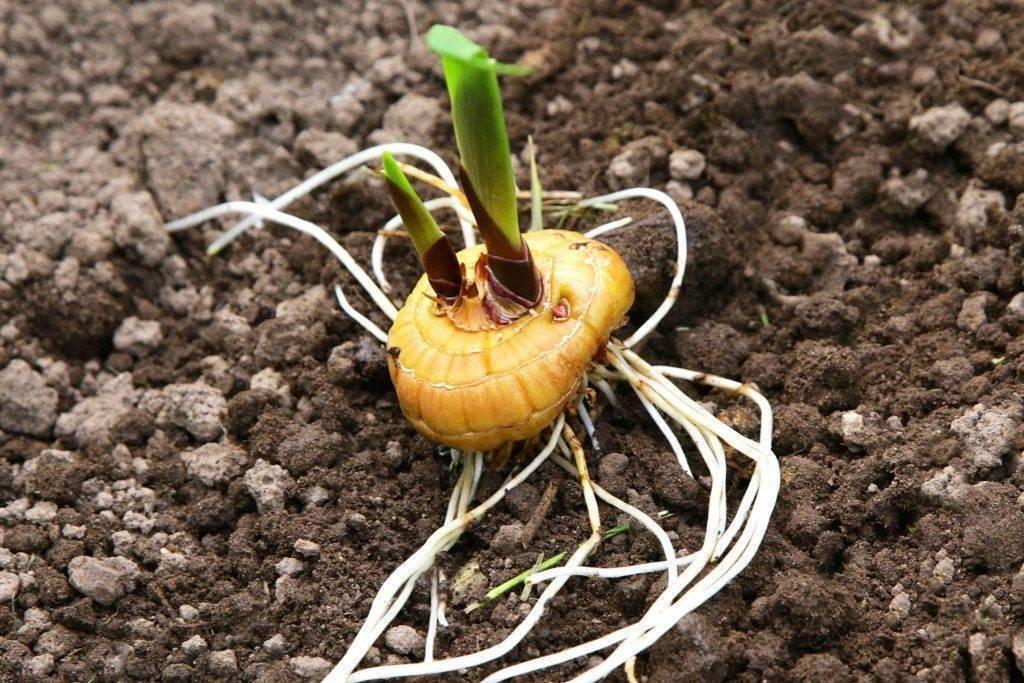 Когда сажать гладиолусы в открытый грунт весной 2021 года: определяем благоприятные дни для посадки луковиц по лунным фазам