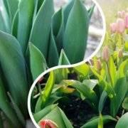 Гиацинт в горшке, тюльпаны и нарциссы. почему не цветут и еще 10 вопросов. выращивание луковичных растений своими руками