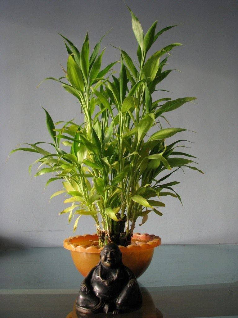 Драцена сандера, или «бамбук счастья»