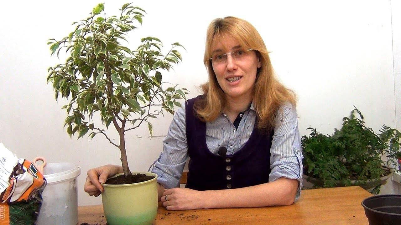 Чудесный и необычный фикус кинки: описание и выращивание в домашних условиях