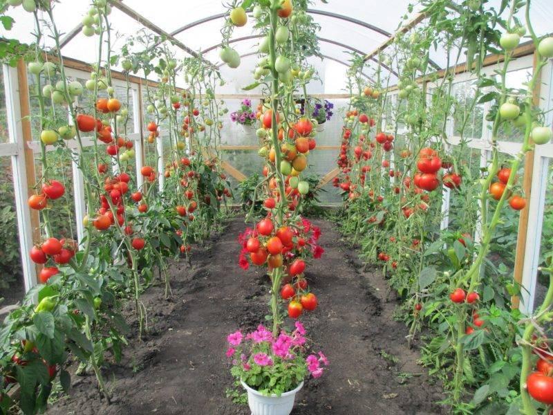 С чем рядом сажать помидоры: лучшие соседи, предшественники и последователи томатов на грядке