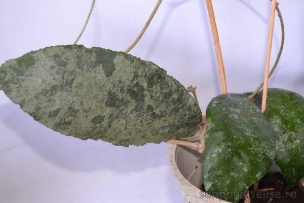 Хойя пубикаликс: сильвер пинк, сплеш, ред, описание этих видов и их фото, а также выращивание hoya pubicalyx и уход за растением и корневой системойдача эксперт