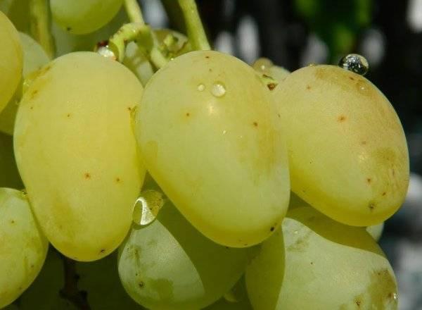 Виноград дарья: описание сорта и характеристики, посадка и уход, размножение