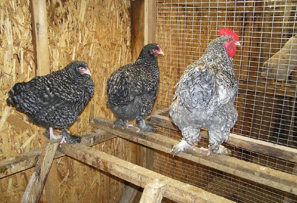 Мехеленская кукушка: описание породы кур, тонкости разведения