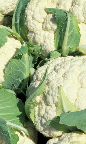 Цветная капуста дачница: отзывы и фото, характеристика и описание сорта, выращивание и уход, когда сажать на рассаду