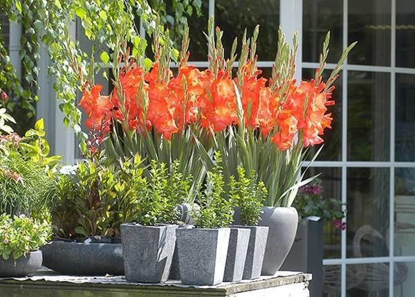 Гладиолусы: посадка и уход в открытом грунте весной или осенью