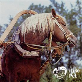Русский тяжеловоз. фото и описание лошади