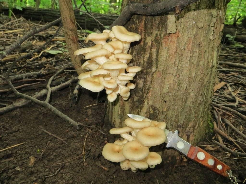 Древесные грибы - фото и описания съедобных и несъедобных грибов, видео