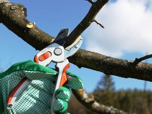 Как обрезать вишню осенью, чтобы был хороший урожай
