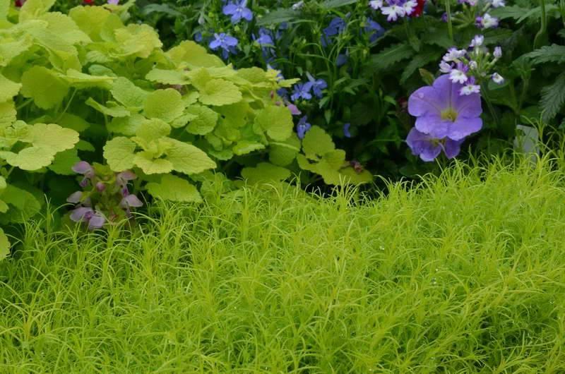 Особенности выращивания мшанки шиловидной: посадка, уход и размножение, использование в ландшафтном дизайне