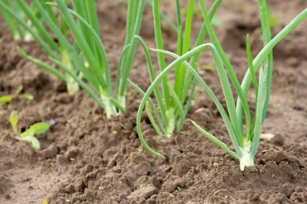Применение свежего навоза весной и осенью на даче и садовом участке
