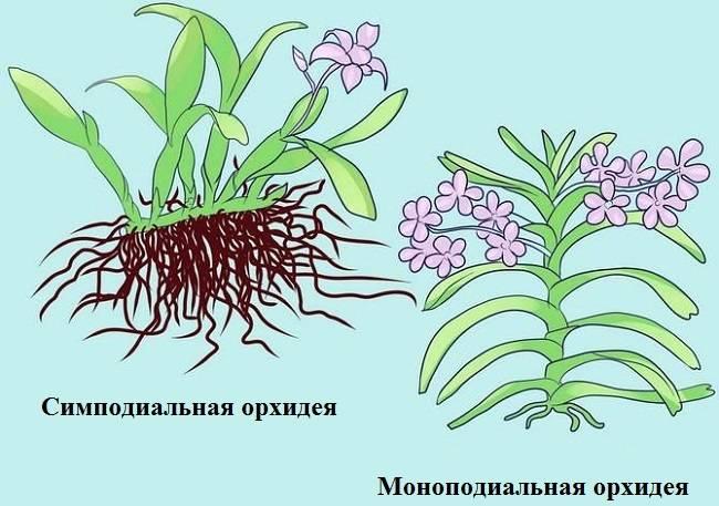 Очаровательные кустовые орхидеи (симподиальные): виды и уход в домашних условиях