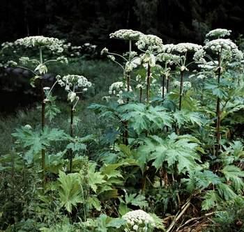 Борщевик (фото растения)